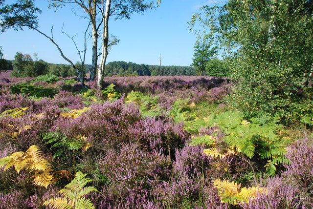Heather and Trees, Cannock Chase