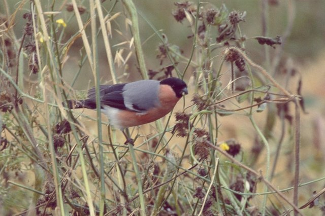 Northern Bullfinch (Pyrrhula p. pyrrhula), Norwick