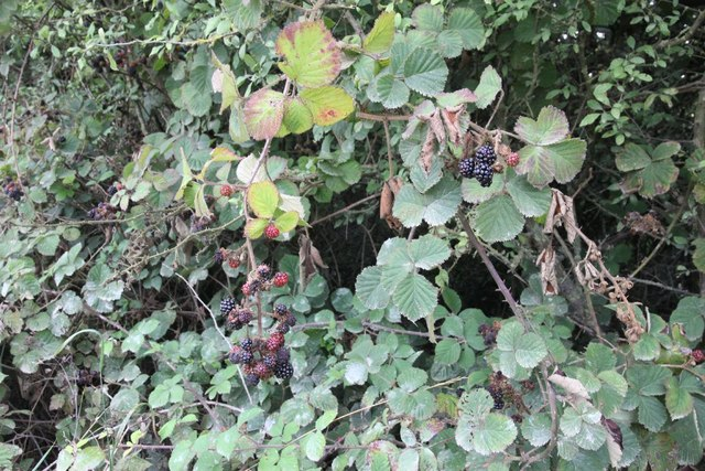 Blackberries on the Byway