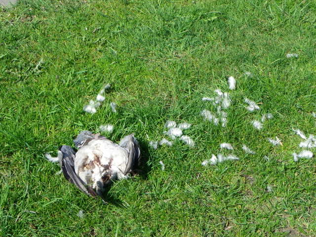 Dead bird, Widdrington