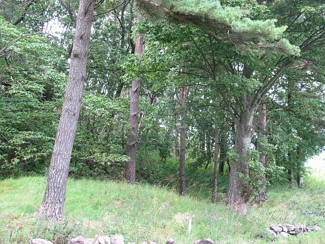 A strip wood, Brown Hill