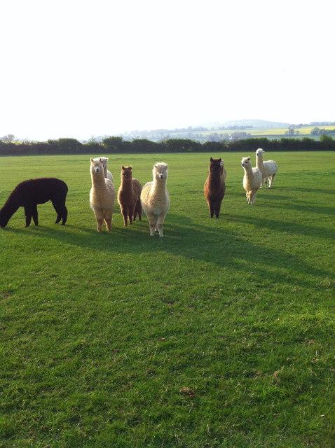Alpacas near Badby Wood, Northants