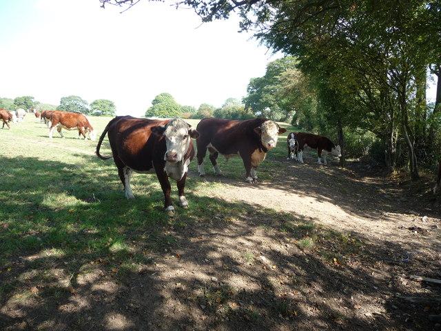 A herd of Herefords near Habberley