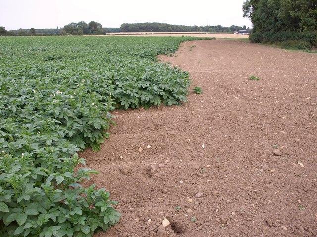 Potatoes near South Plantation