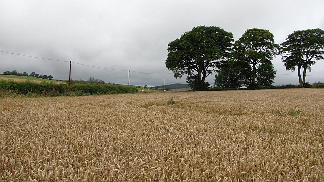 Wheat near Stenmuir.