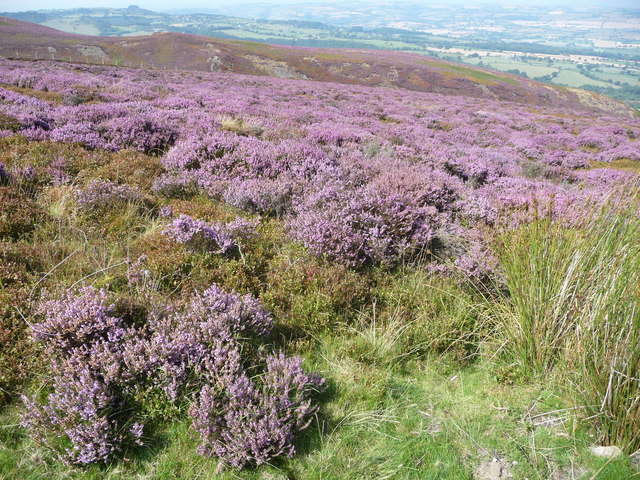 Purple heather at the northerly end of the Stiperstones ridge