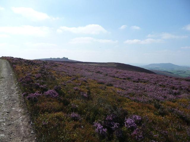 Purple heather north of the Stiperstones