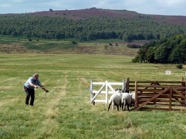 A successful penning at the Longshaw Sheep Dog Trials