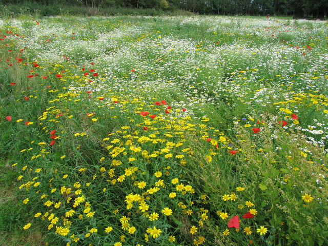 Wild Flowers at Lane Ends Amenity Area