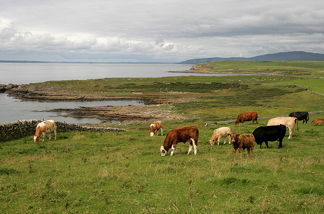 Grazing cattle at Borness
