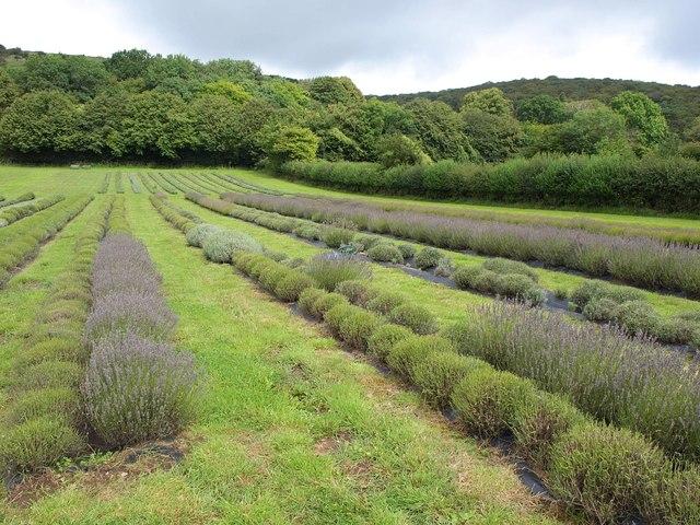 Lavender field, Axbridge