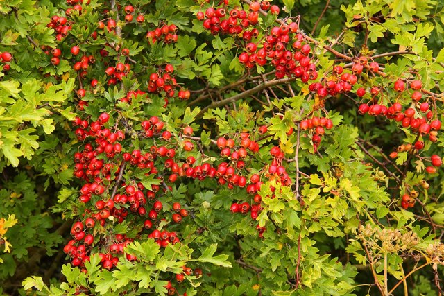 Hawthorn berries by the bridleway
