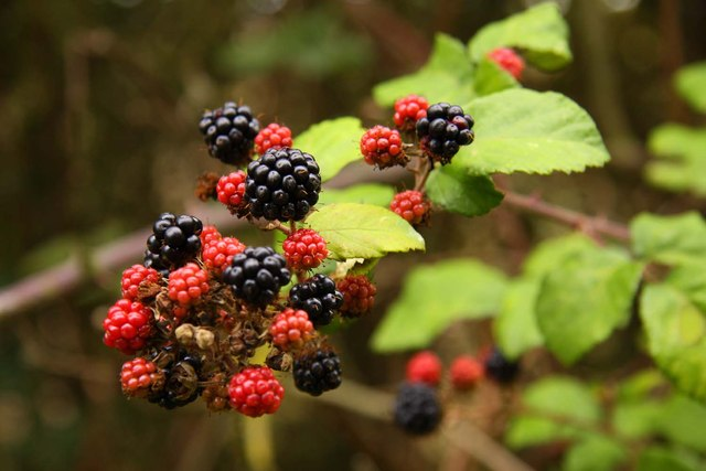 Blackberries by the bridleway