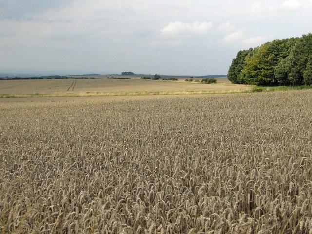 Wheat field west of Bella Farm