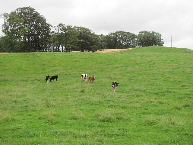 Calves near Skirling