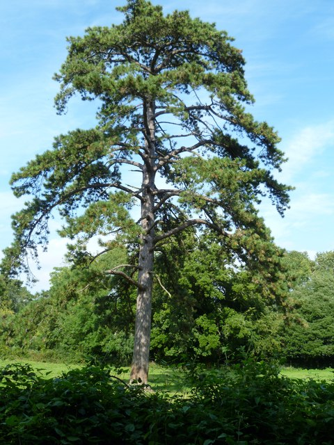 Tree at Wiston House