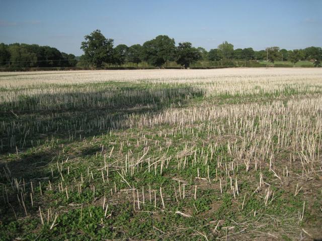 Cut stalks of oilseed rape