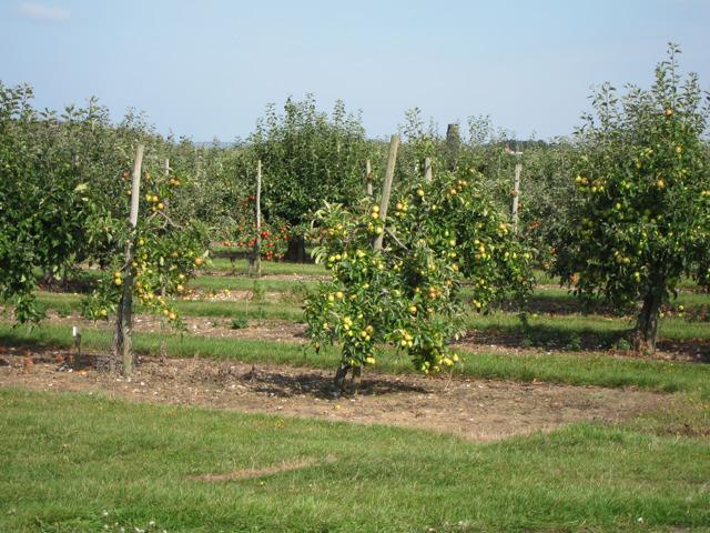 Apple orchards at Brogdale Farm