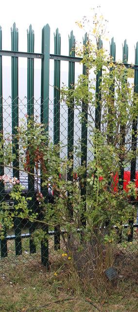 Garry 'Gaz' Bennett memorial rose bush, M5 services