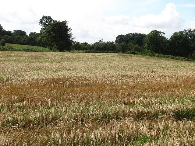 Barley field under Benarty Hill