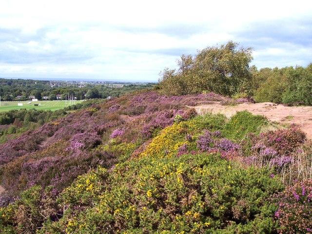 Heath and gorse on Thurtaston Hill