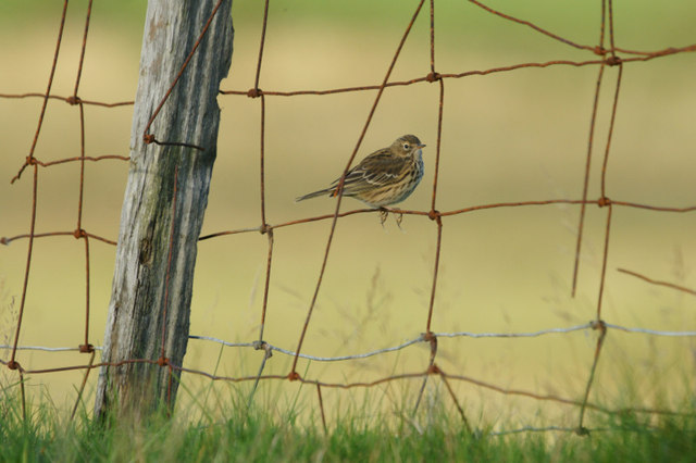 Meadow Pipit (Anthus pratensis) on an old fence, Northdale