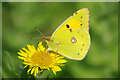 TQ2238 : Clouded Yellow butterfly by Robin Webster