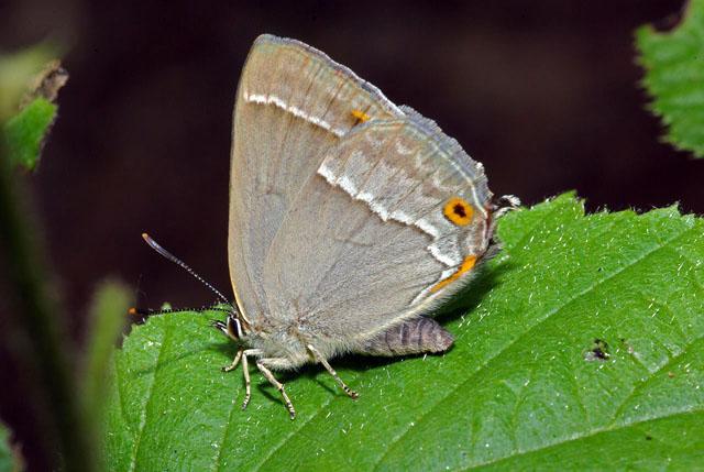 Purple Hairstreak butterfly