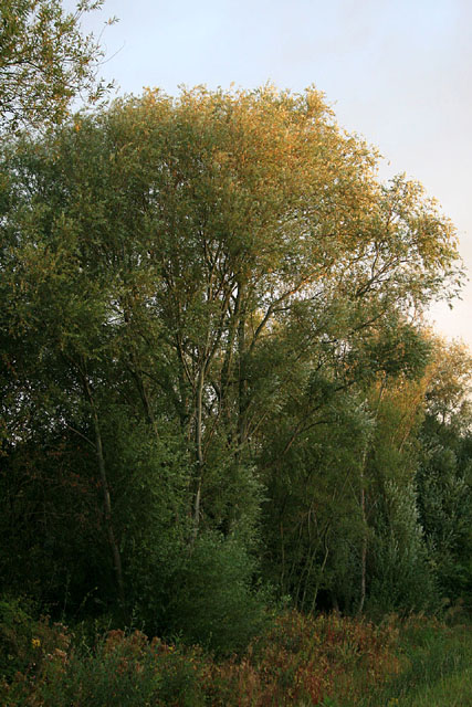Willow tree catches the morning sun