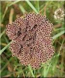 SX9066 : Wild carrot in seed by Derek Harper