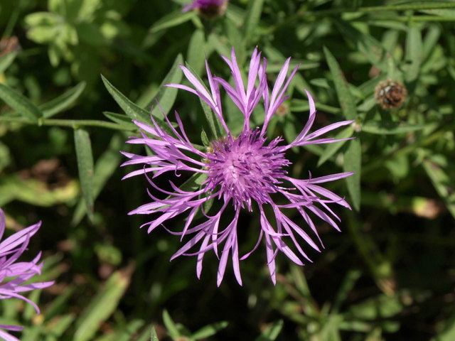 Greater Knapweed, Coldeast