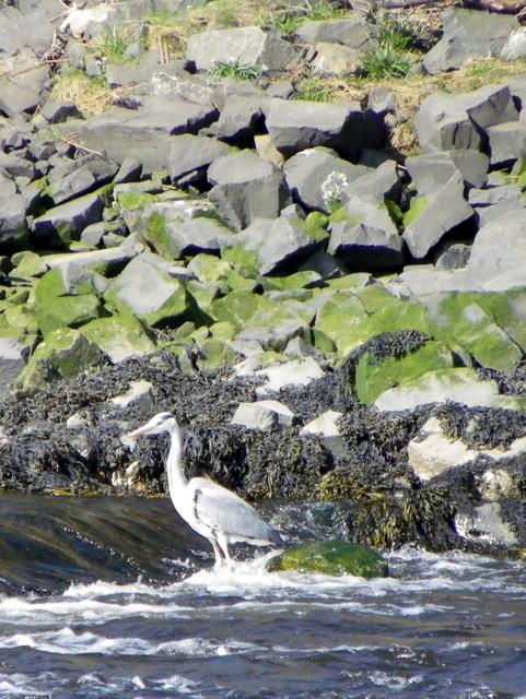 Heron, River Coquet