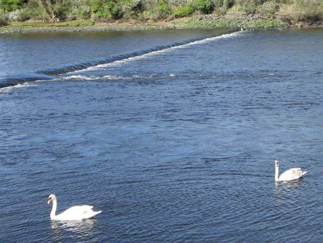 Swans on the River Coquet