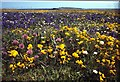 HU4010 : Flowers on the north side of Grutness Voe by Mike Pennington