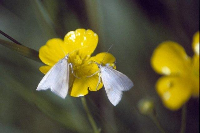 The moth Udea lutealis, Baltasound