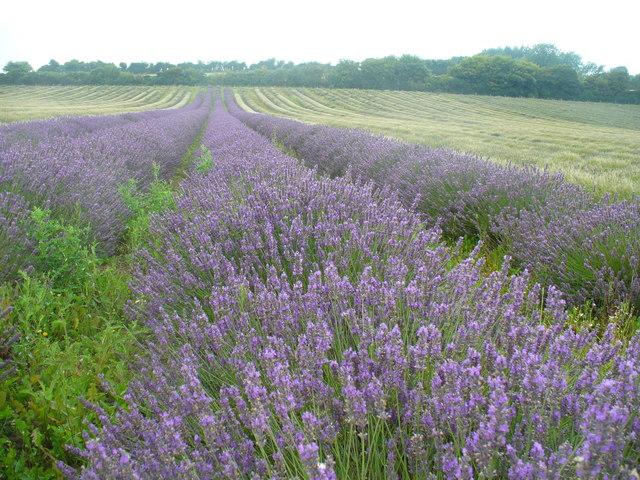 Lavender Field by Alton