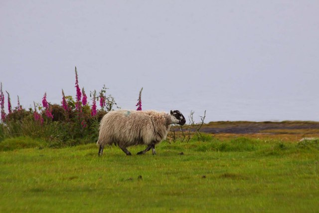 Sheep by the foxgloves