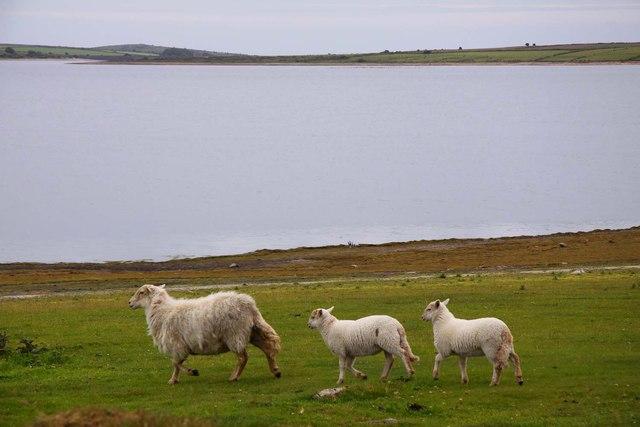 Sheep by Colliford Lake