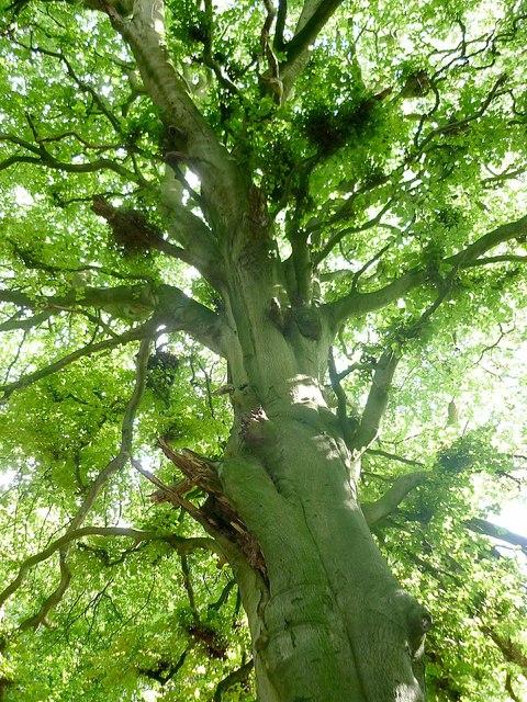Beech tree, Dark Lane