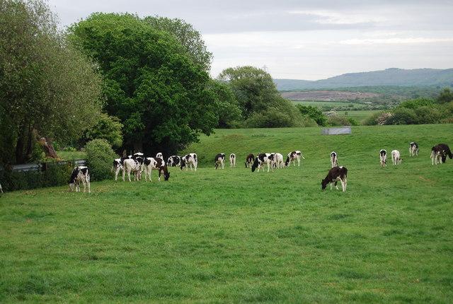 Cattle grazing near Wyckham Lane