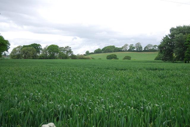 Cereal field, Wyckham Lane