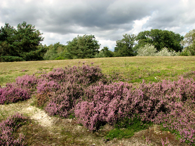 Flowering heather in Bawsey Country Park