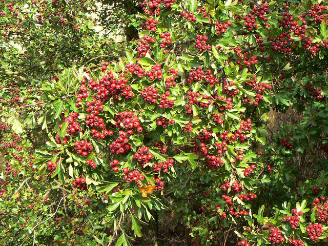 Haws by the hundred