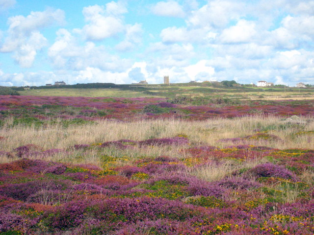A carpet of heather and gorse on the cliff top near Maen Castle