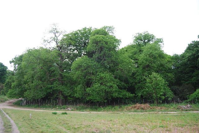 Sidmouth Wood, Richmond Park