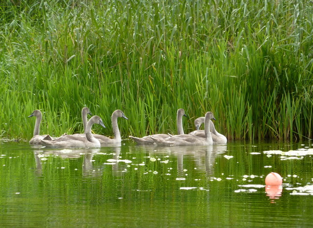 Seven cygnets a-swimming at Castle Howard