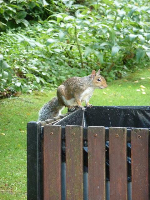 Bournemouth: a squirrel on a bin