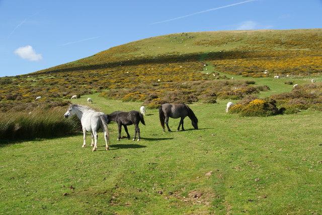 Ponies below Carn Siân