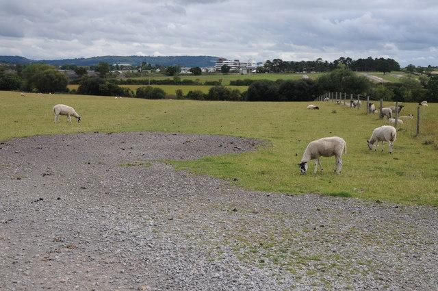 Sheep grazing near Prestbury Park