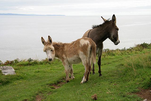 Donkeys at the Galloway Coast